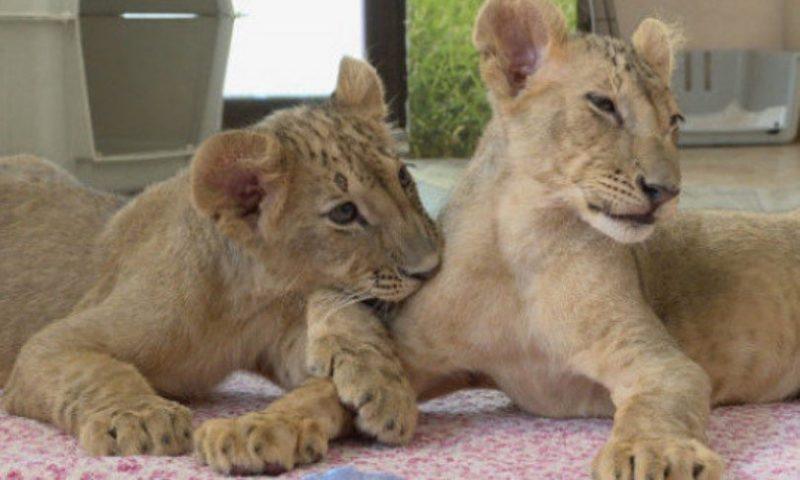Тъжно: Българското лъвче Масуд издъхна в Холандия