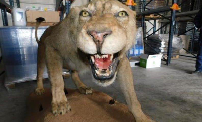 Препариран лъв откриха в складова база край Разград