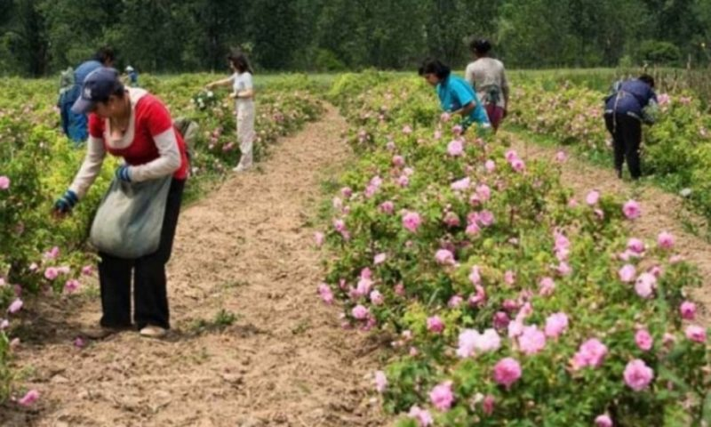 Розопроизводителите готвят нови бунтове: Искат субсидия за бране на зелено