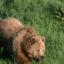 Изчезна мечката от Белица – Горещите новини на Подбалкана